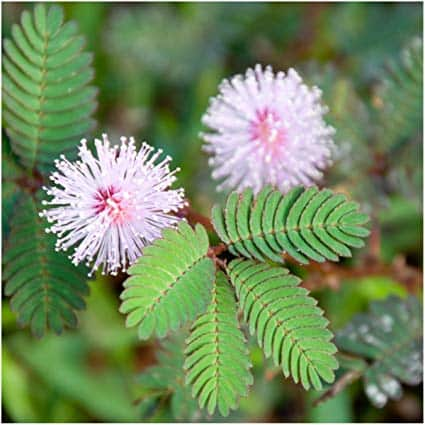 10 Amazing Herbs That Strengthen Your Digestion; Mimosa Pudica