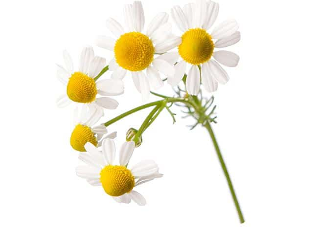 0 Amazing Herbs That Strengthen Your Digestion; Chamomile